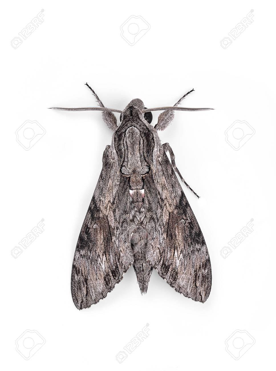 Papillon De Nuit Noir Et Blanc : papillon, blanc, Papillon, Isolé, Blanc., Banque, D'Images, Photos, Libres, Droits., Image, 82497758.