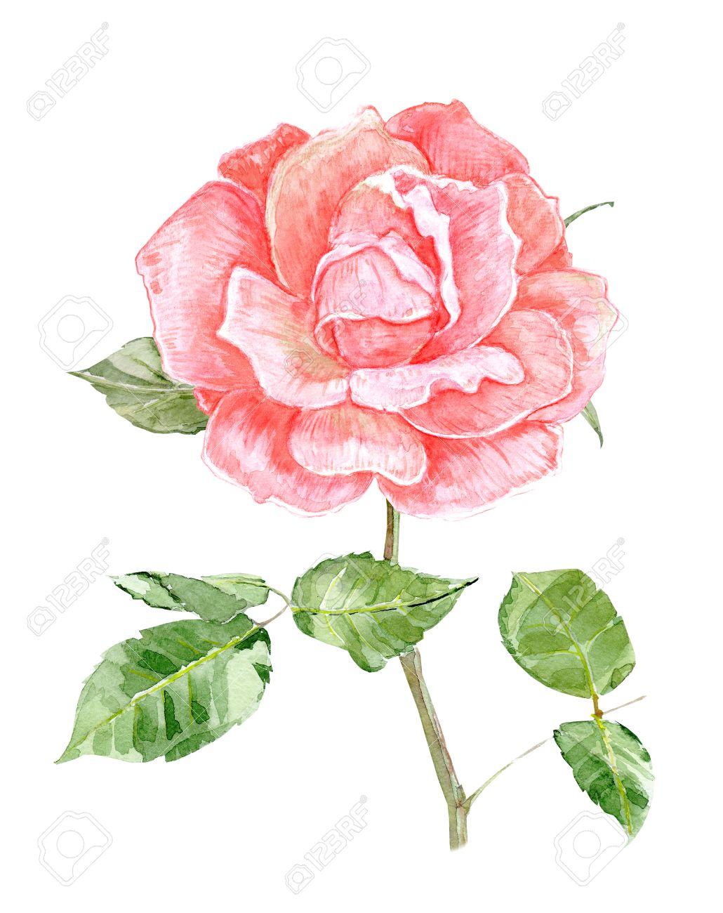 pink rose flower for