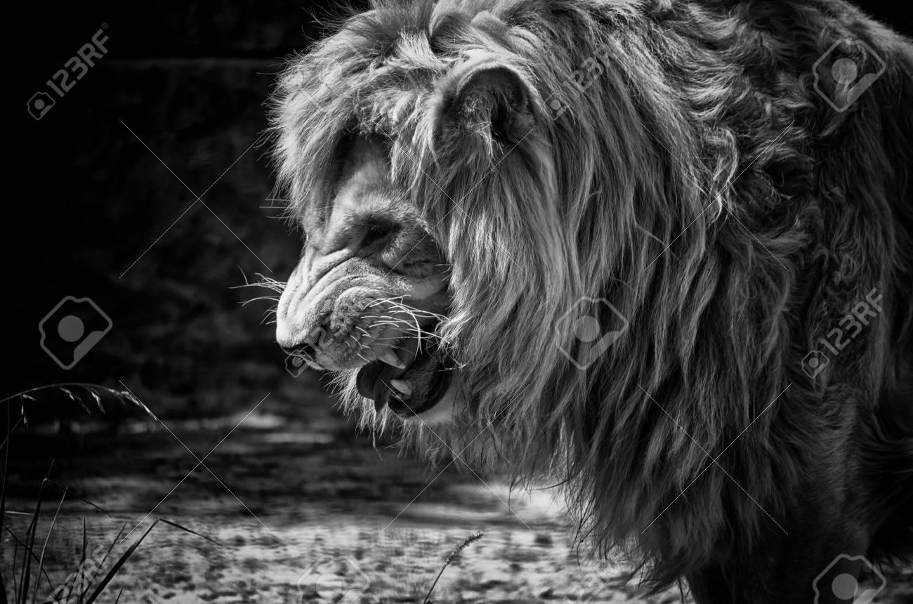 fierce male african lion