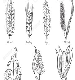 cereals hand drawn illustration wheat barley rye millet oat  [ 975 x 1300 Pixel ]
