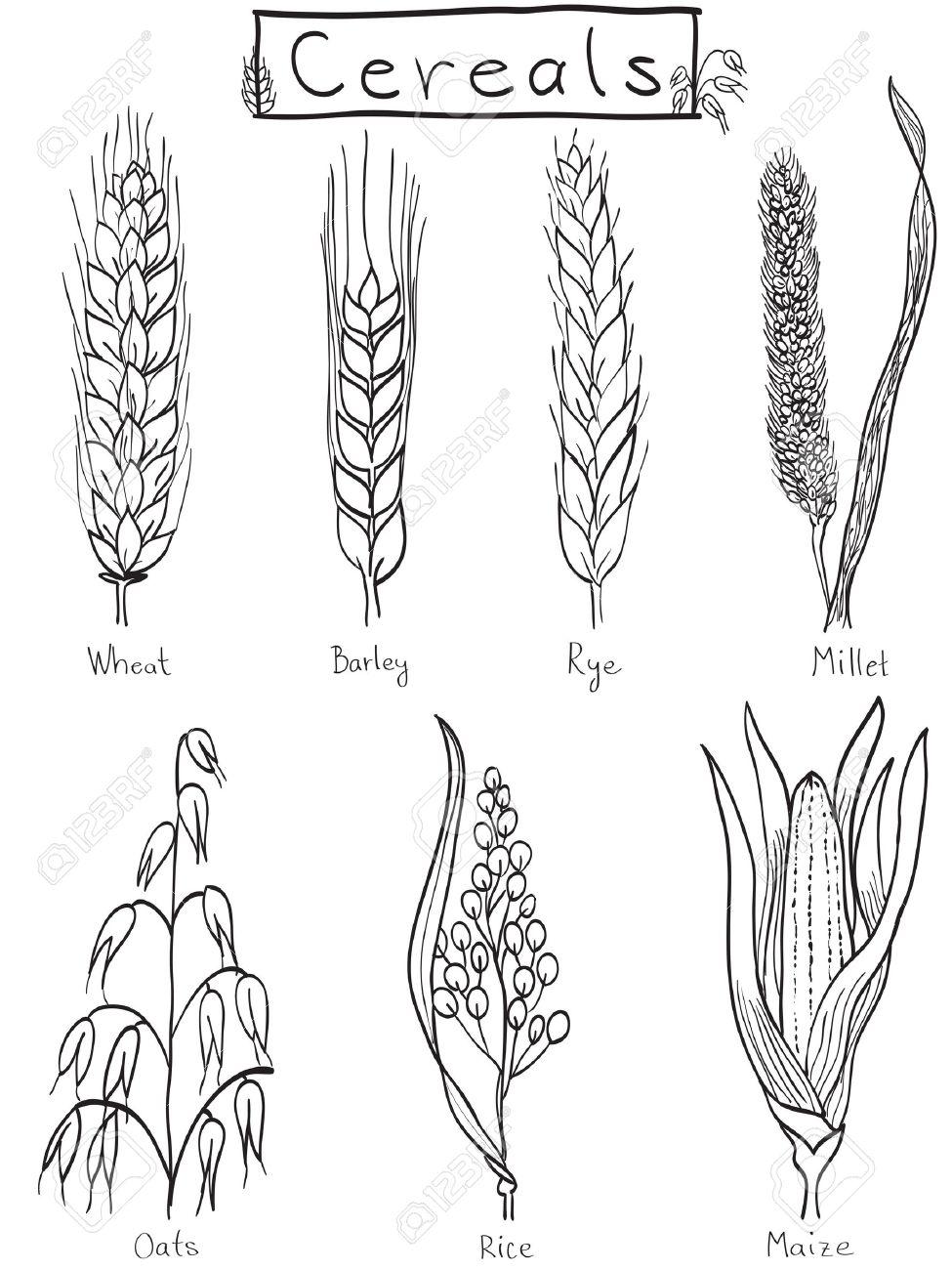 medium resolution of cereals hand drawn illustration wheat barley rye millet oat