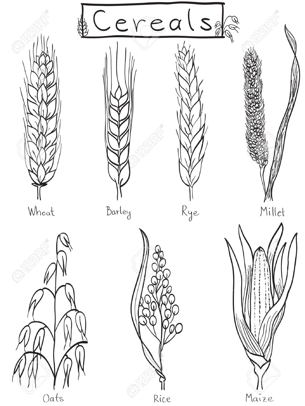 hight resolution of cereals hand drawn illustration wheat barley rye millet oat