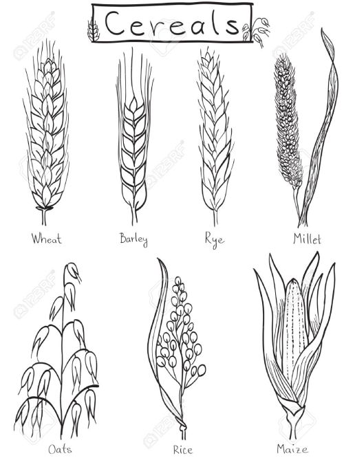 small resolution of cereals hand drawn illustration wheat barley rye millet oat