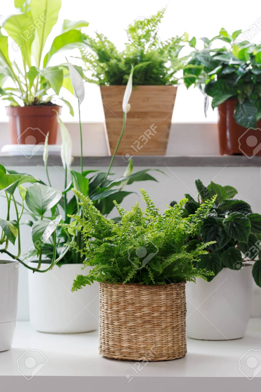 Tropical House Plants In White Pots On The Table Peperomia Pothos Stock Photo Picture And Royalty Free Image Image 126194699