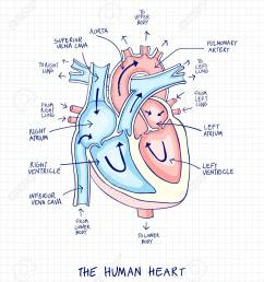 sketch of human heart anatomy line and color on a checkered background educational diagram [ 1136 x 1300 Pixel ]