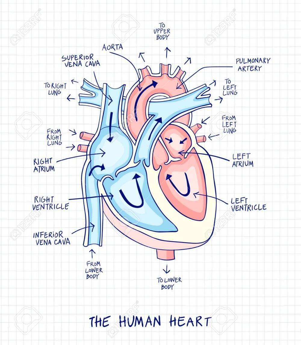 medium resolution of sketch of human heart anatomy line and color on a checkered background educational diagram