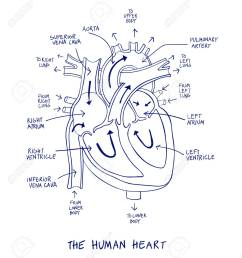 sketch of human heart anatomy on blue line on a white background educational diagram showing [ 1136 x 1300 Pixel ]