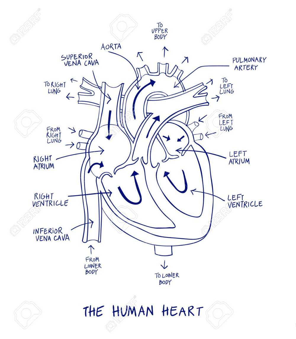 medium resolution of sketch of human heart anatomy on blue line on a white background educational diagram showing