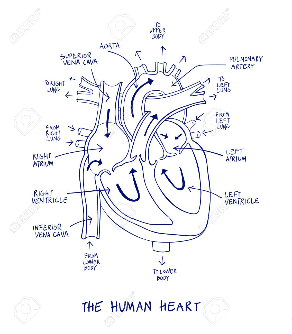 hight resolution of sketch of human heart anatomy on blue line on a white background educational diagram showing