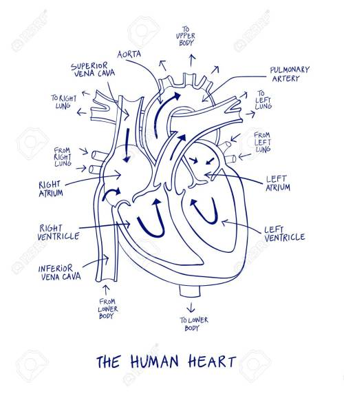 small resolution of sketch of human heart anatomy on blue line on a white background educational diagram showing