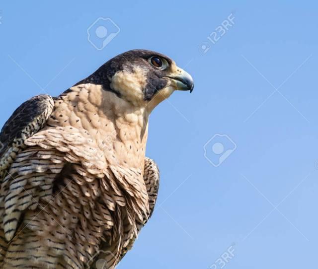 Portrait Of Peregrine Falcon Falco Peregrinus Aka Duck Hawk The Fastest Animal