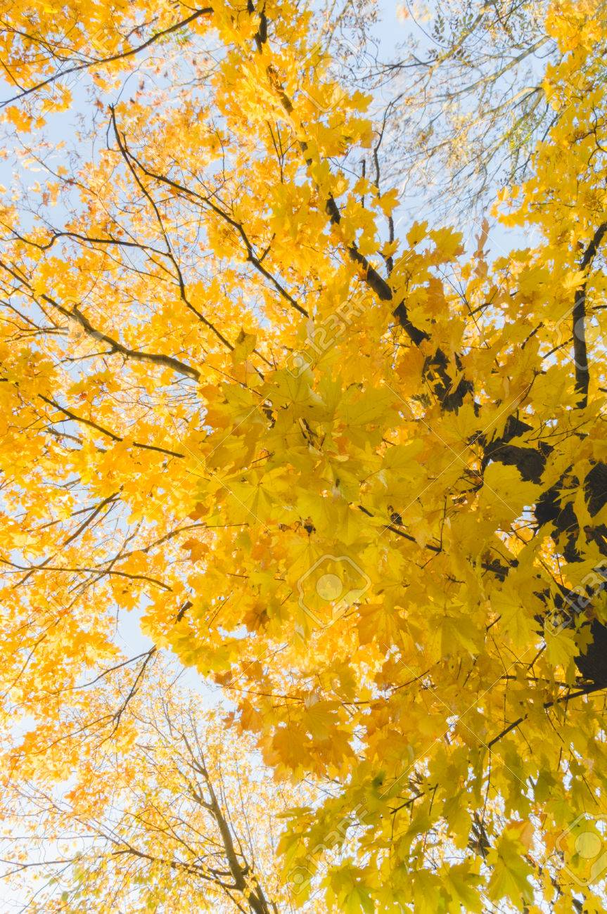 Blue Maple Tree : maple, Autumn, Yellow, Colored, Maple, From.., Stock, Photo,, Picture, Royalty, Image., Image, 48177401.