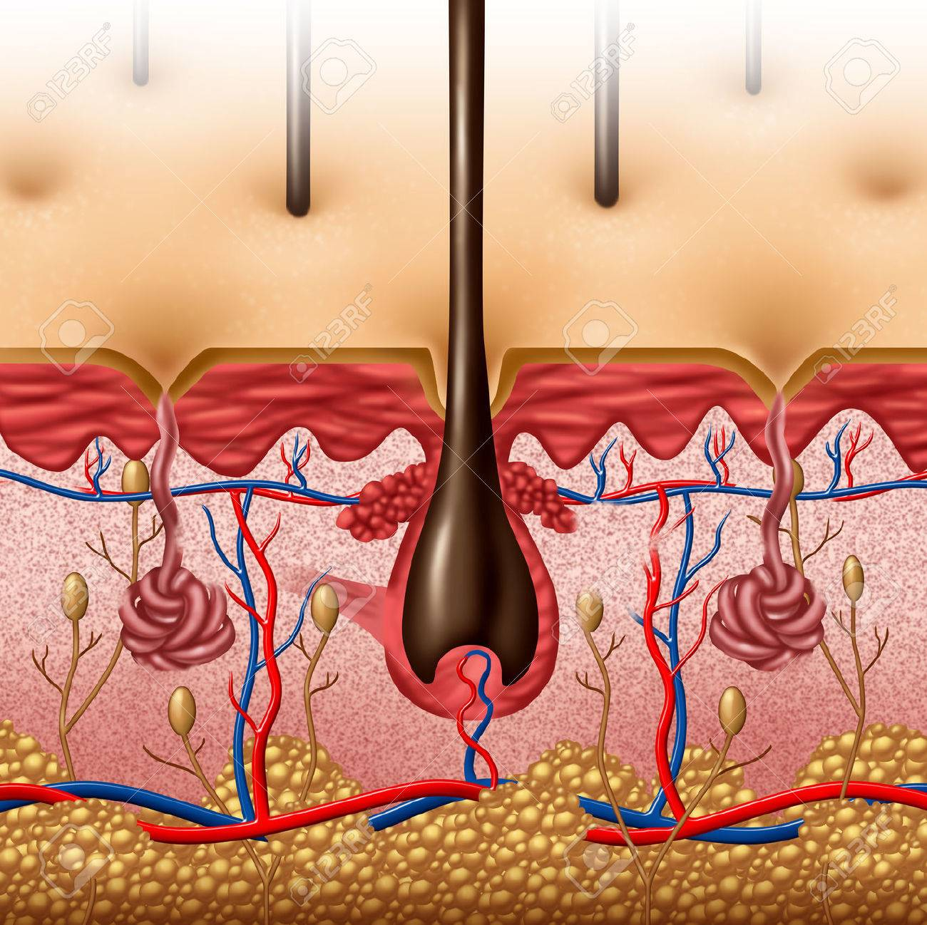 skin cross section diagram deer cuts anatomy concept with a of the human body surface organ hair