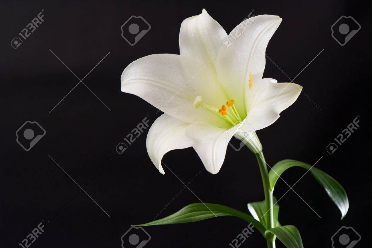 white lily flower on