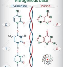 chemical structural formulas of purine and pyrimidine nitrogenous bases adenine a ade guanine g gua thymine t thy uracil u cytosine c  [ 1103 x 1300 Pixel ]