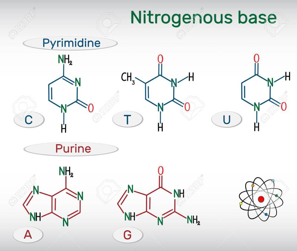 medium resolution of chemical structural formulas of purine and pyrimidine nitrogenous bases adenine a ade guanine g gua thymine t thy uracil u cytosine c