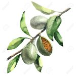 Branch Of Almond Tree With Green Almonds Isolated Watercolor Stock Photo Picture And Royalty Free Image Image 63229568