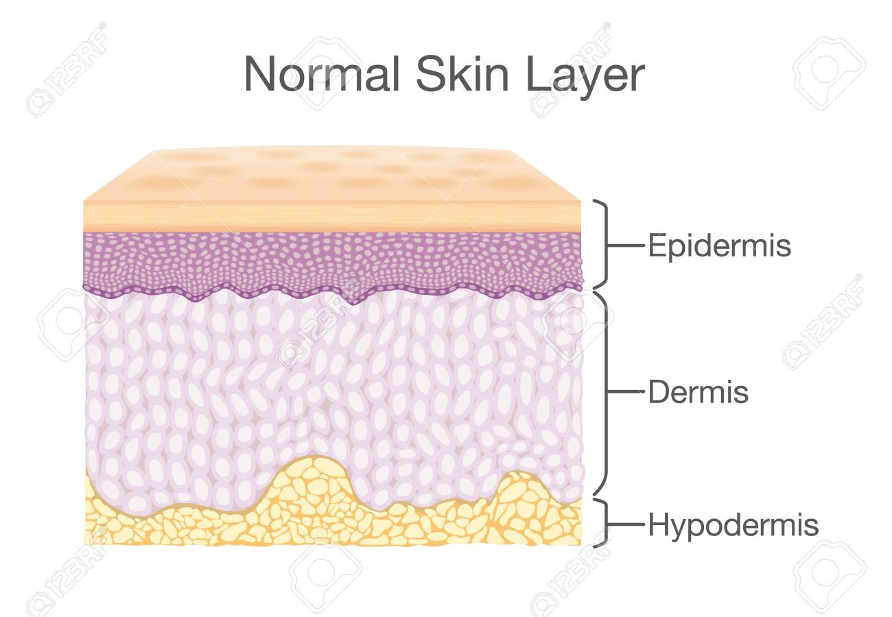 hight resolution of layer of healthy human skin in vector style and components information illustration about medical diagram