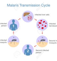 illustration showing malaria transmission cycle step of infections in people with mosquito stock vector [ 1300 x 942 Pixel ]