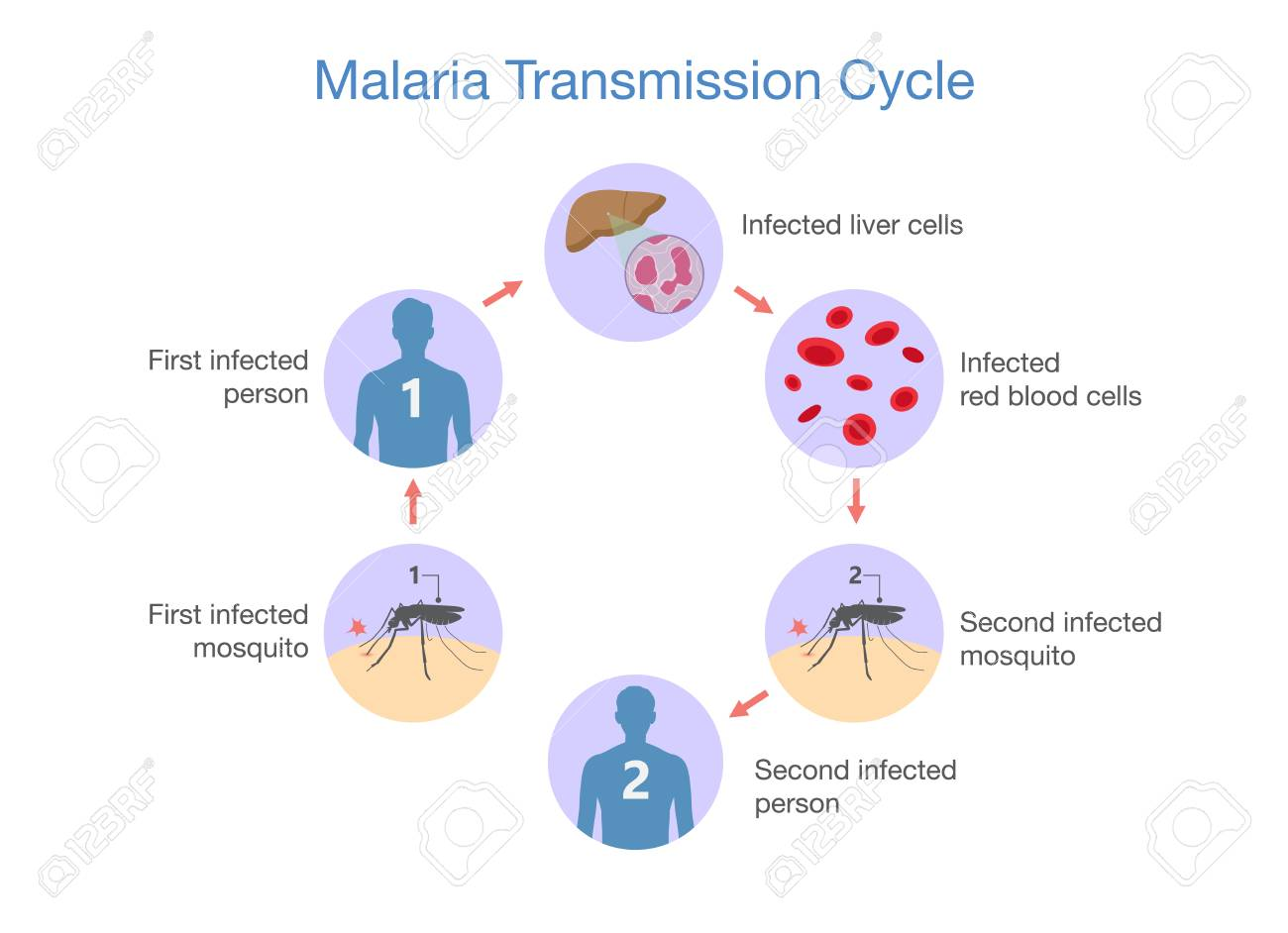 hight resolution of illustration showing malaria transmission cycle step of infections in people with mosquito stock vector
