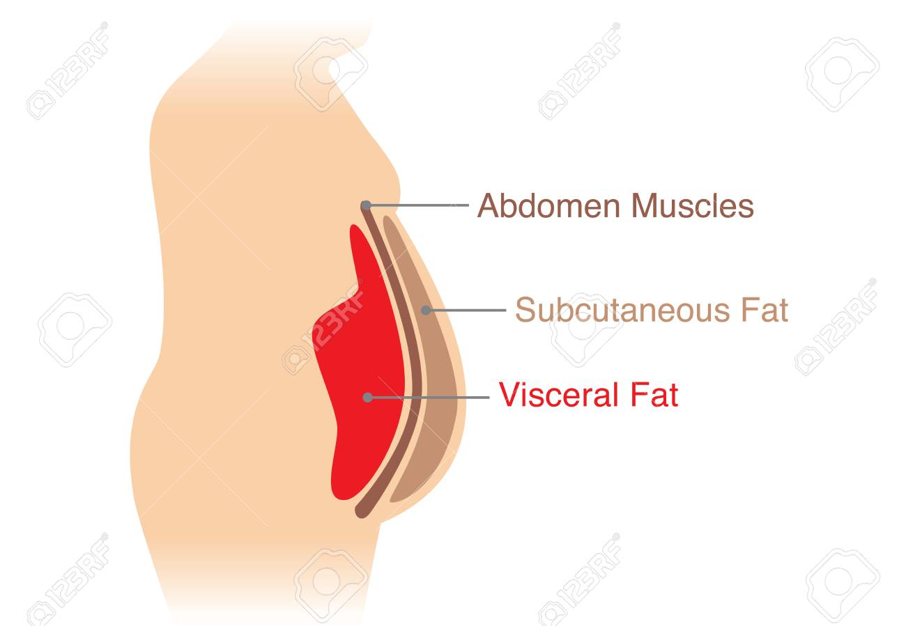 hight resolution of location of visceral fat stored within the abdominal cavity illustration about medical diagram stock