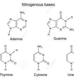 structural formulas of purine and pyrimidine nitrogenous bases of dna illustration vector isolated [ 1300 x 1026 Pixel ]