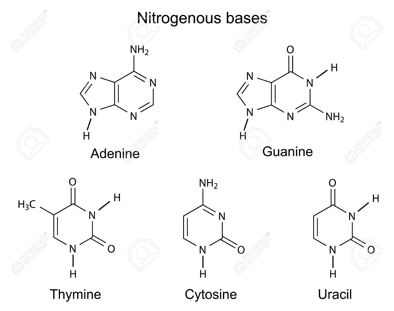hight resolution of structural formulas of purine and pyrimidine nitrogenous bases of dna illustration vector isolated