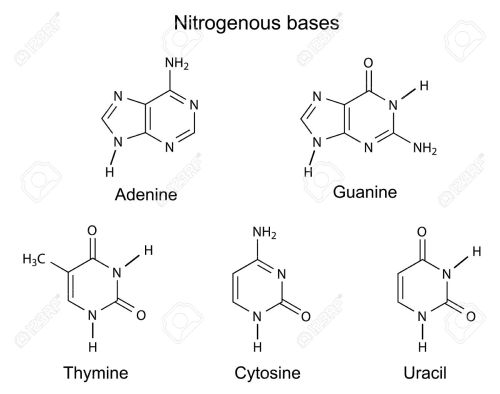 small resolution of structural formulas of purine and pyrimidine nitrogenous bases of dna illustration vector isolated
