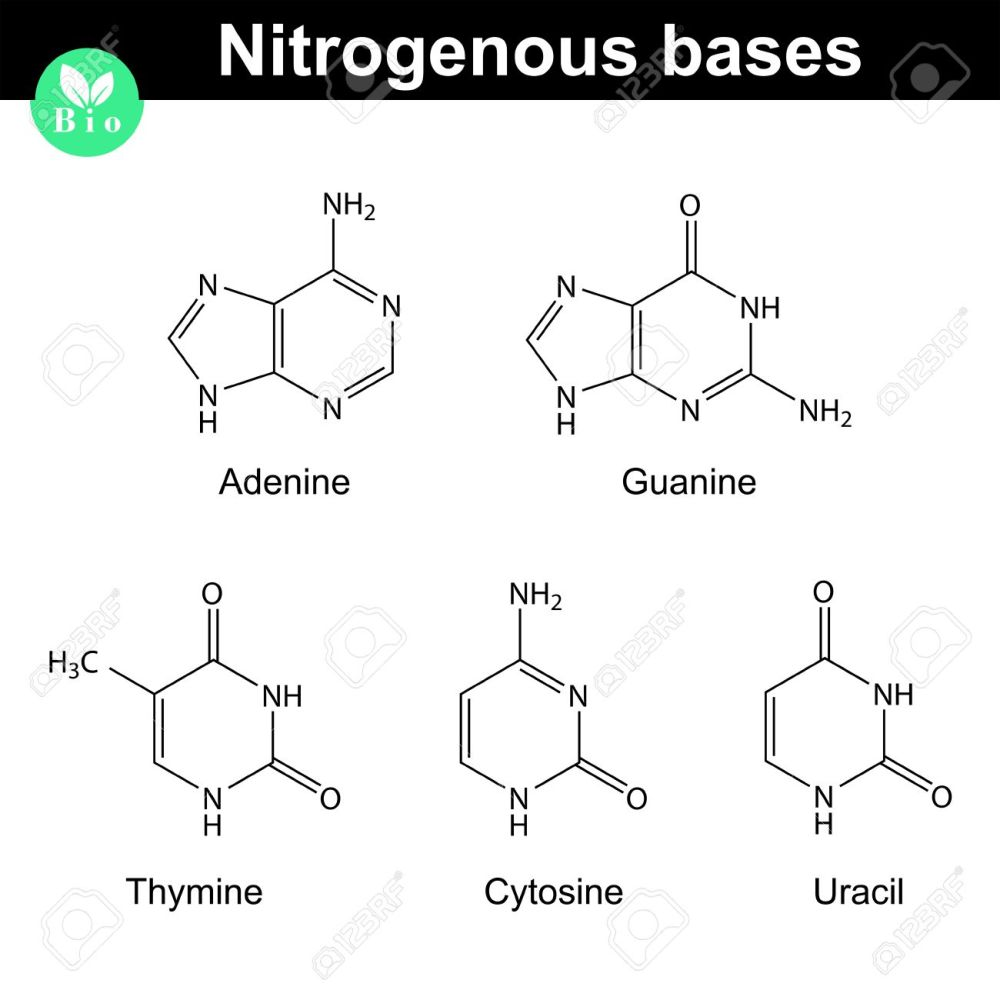 medium resolution of nitrogenous bases molecular structures adenine thymine guanine cytosine and uracil molecules