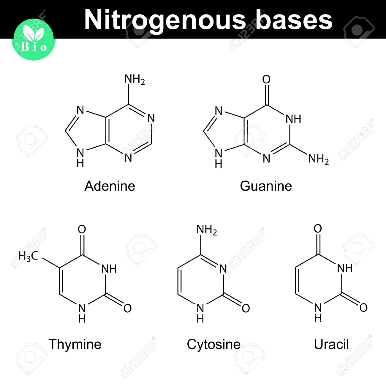 hight resolution of nitrogenous bases molecular structures adenine thymine guanine cytosine and uracil molecules