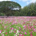 Blooming Pink And White Cosmos Flowers Field With The Big Trees Stock Photo Picture And Royalty Free Image Image 72606620