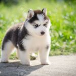 Cute Puppy Siberian Husky Howling On Grass Stock Photo Picture And Royalty Free Image Image 30933495