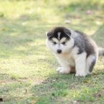 Cute Siberian Husky Puppy Pooping On Green Grass Under Sunset Stock Photo Picture And Royalty Free Image Image 39312450