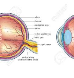 human eye anatomy stock vector 76389887 [ 1300 x 638 Pixel ]