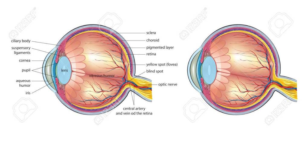 medium resolution of human eye anatomy stock vector 76389887