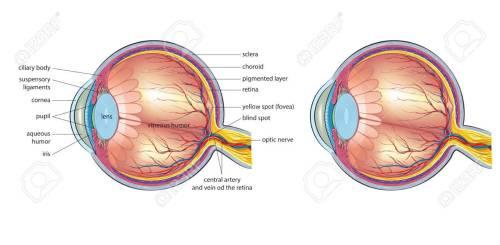 small resolution of human eye anatomy stock vector 76389887