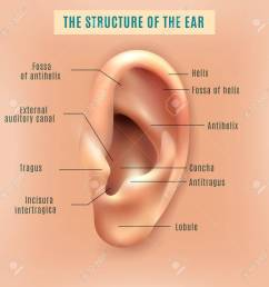 outer external part of human ear structure picture and definitions medical anatomy educative background poster vector [ 1299 x 1300 Pixel ]