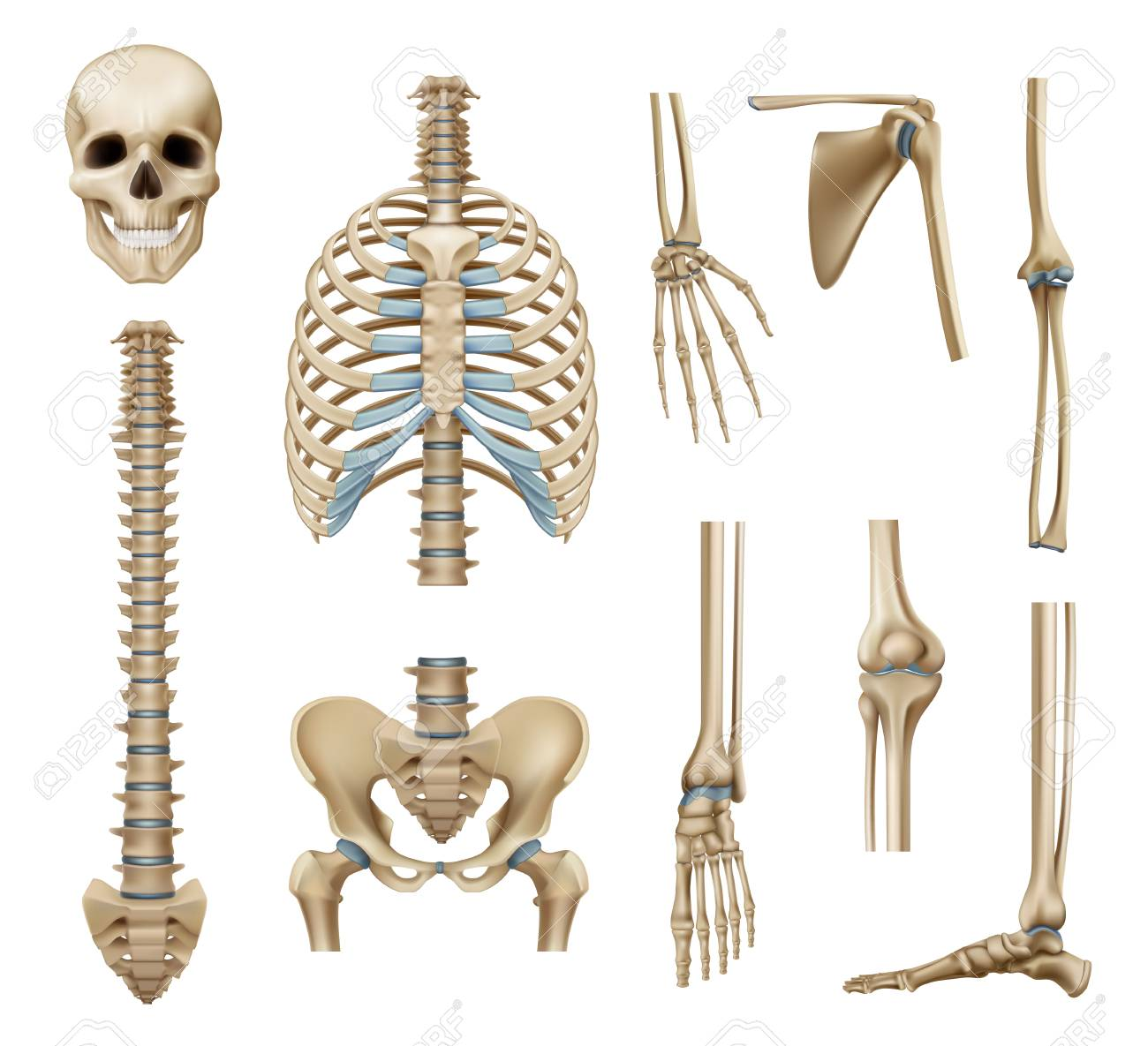 hight resolution of realistic human skeleton parts set with skull spine scapula bones of pelvis and limbs isolated vector