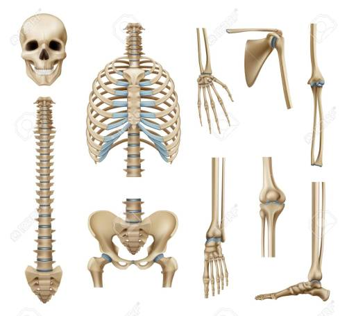 small resolution of realistic human skeleton parts set with skull spine scapula bones of pelvis and limbs isolated vector