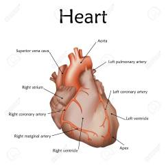 Realistic Heart Diagram Trailer Wiring 7 Way Round Human With A Description Anatomy Vector Illustration White Background Stock