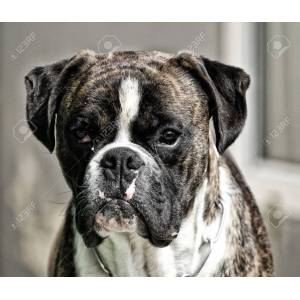 Pleasing Black Boxer Dog Black Boxer Dog Photos Black Boxer