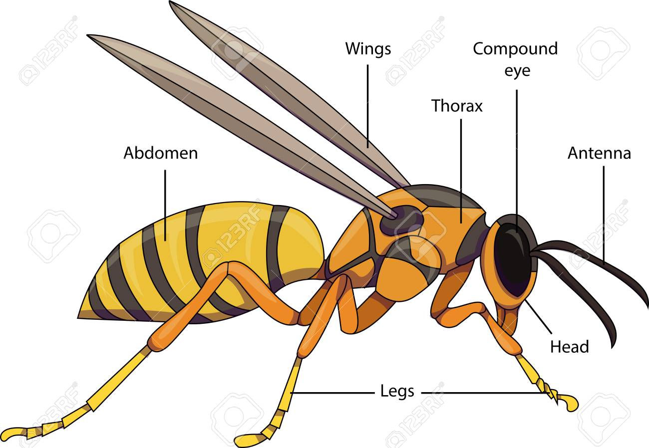 Diagram Of Hornet Wiring 740t Library Honda Cbr Hight Resolution Vector Illustration An Insect With Labeled Parts F18