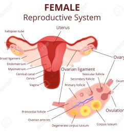 female reproductive system the uterus and ovaries scheme the phase of the menstrual cycle [ 1300 x 1300 Pixel ]