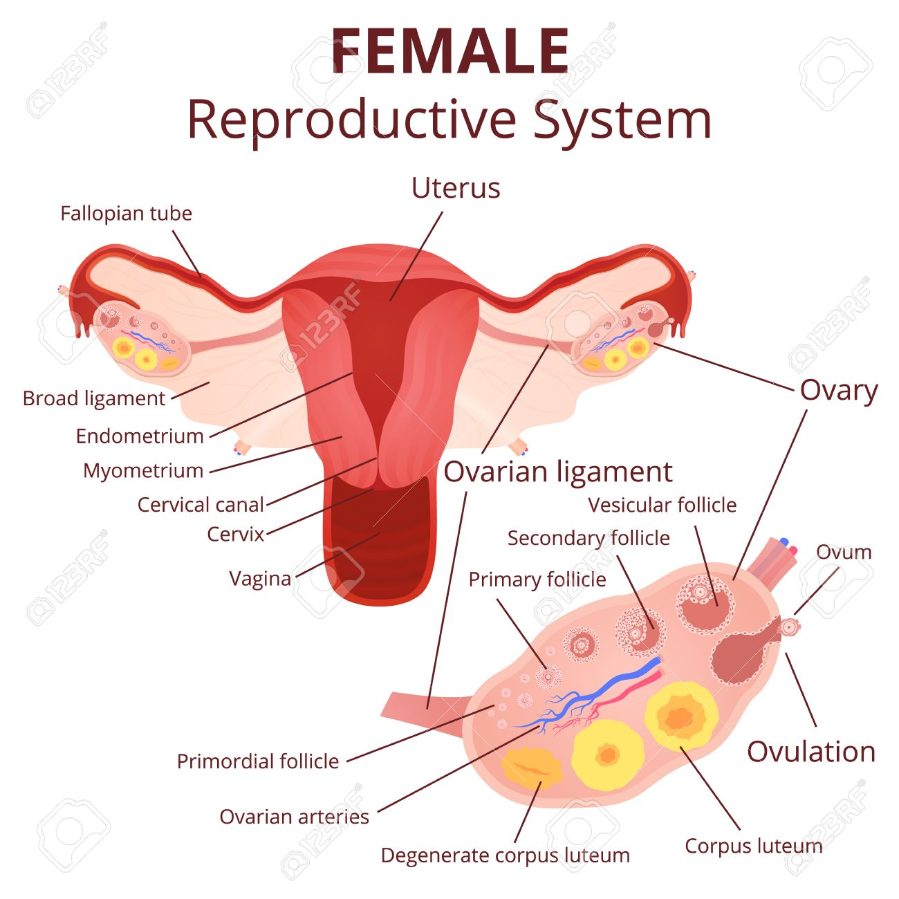 hight resolution of female reproductive system the uterus and ovaries scheme the phase of the menstrual cycle