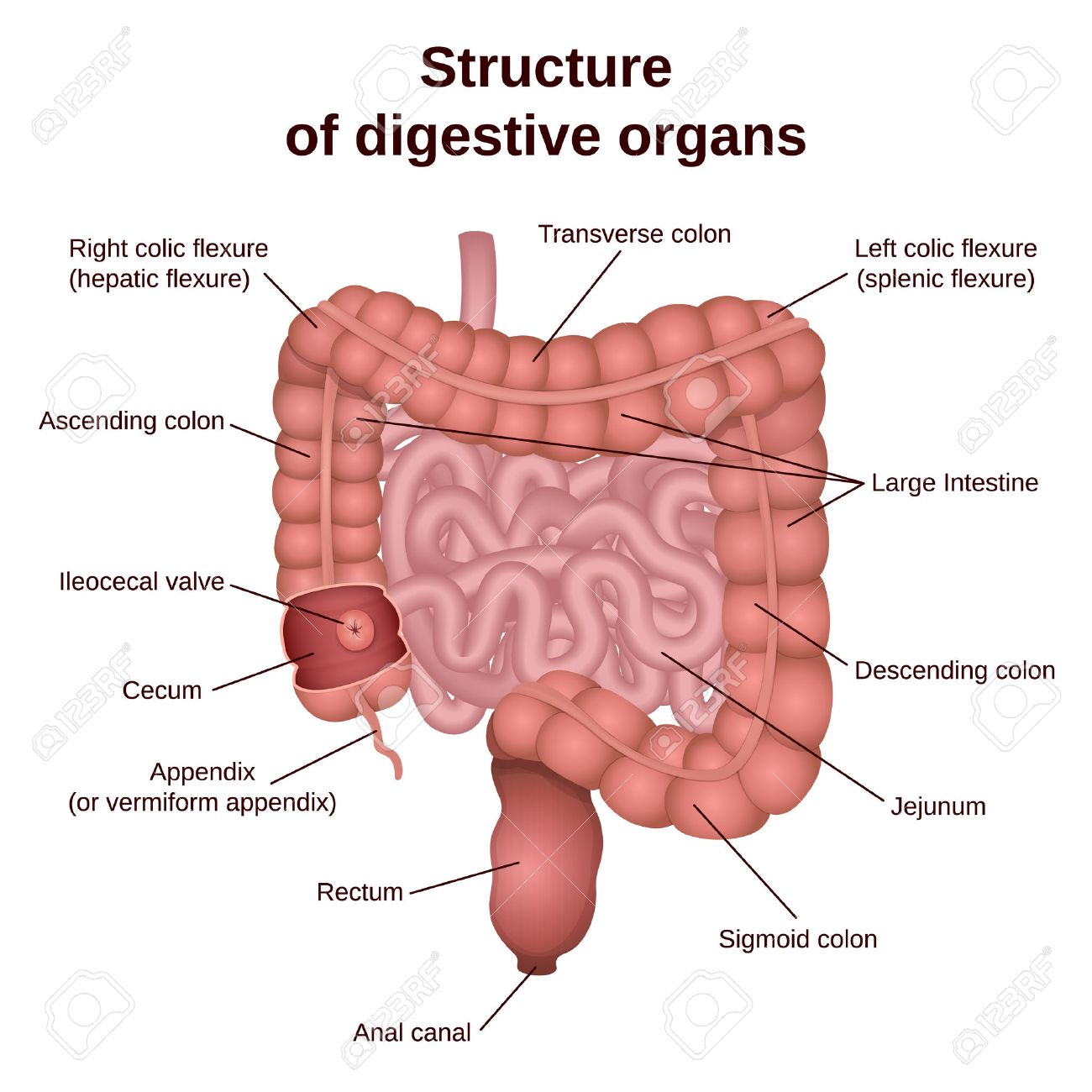 hight resolution of circuit structure of the digestive system colon and small intestine stock vector 65935531