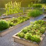 Community Kitchen Garden Raised Garden Beds With Plants In Vegetable Stock Photo Picture And Royalty Free Image Image 124979241
