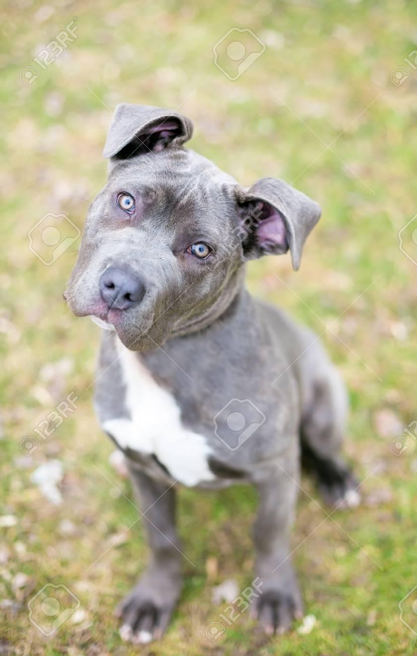 Blue Cane Corso Pitbull Mix : corso, pitbull, Corso, Breeds, Online
