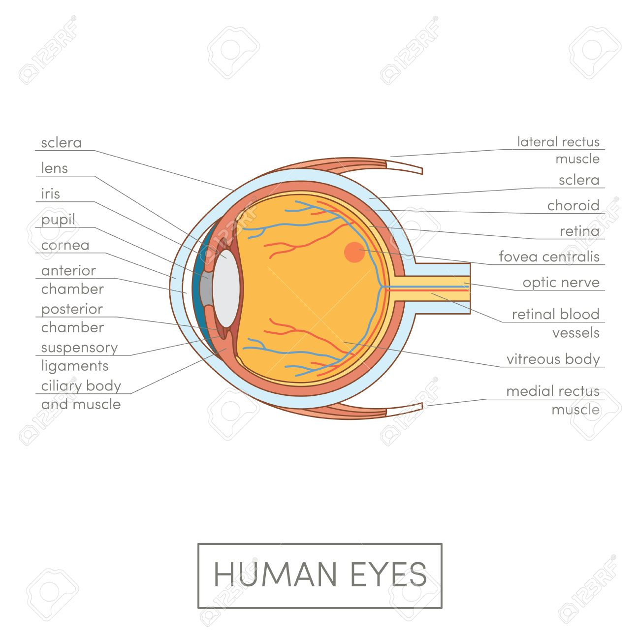human eye diagram simple nest smoke alarm wiring anatomy cartoon vector illustration for medical atlas or educational textbook cross