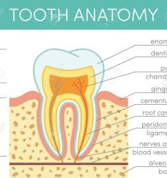 human tooth anatomy vector diagram of healthy molar stock vector 69007270 [ 1300 x 1114 Pixel ]