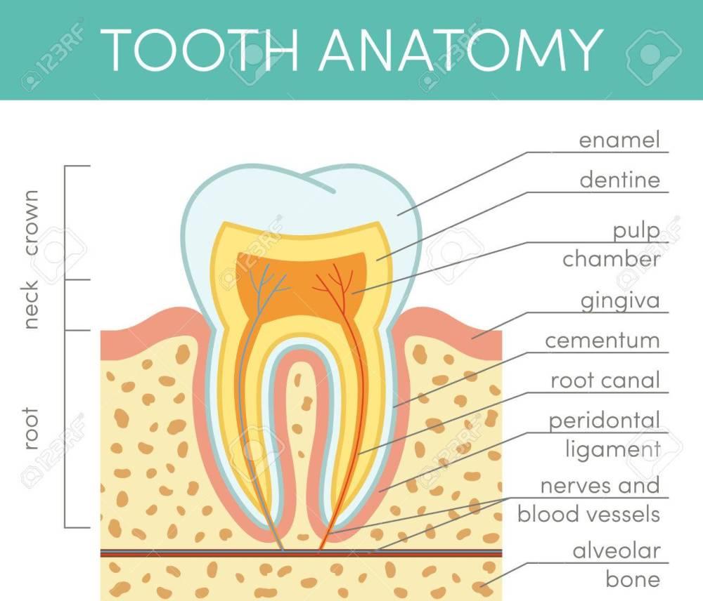 medium resolution of human tooth anatomy vector diagram of healthy molar stock vector 69007270